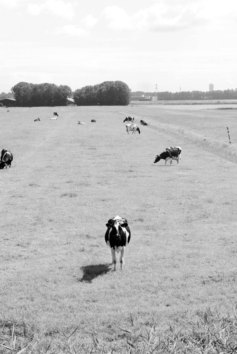 Lonely_cow_BW