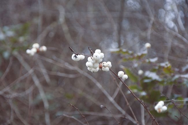 Whiteberries